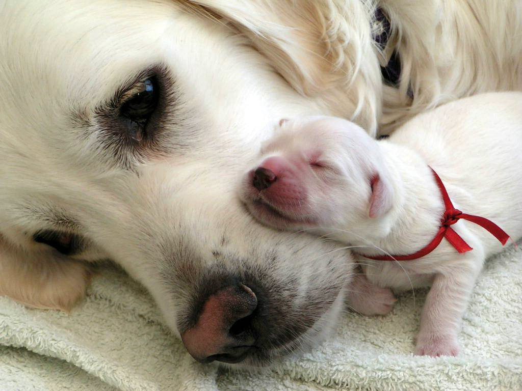 White-Labra-Dog-And-Puppy