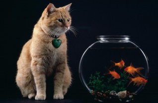 temptation_-_cat_and_goldfish_bowl